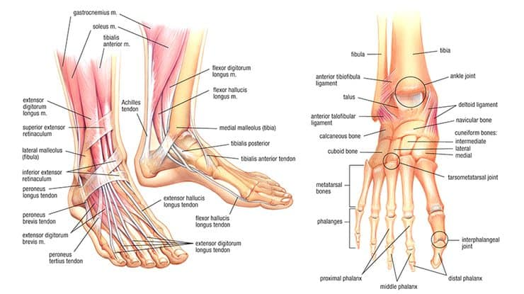Foot Anatomy