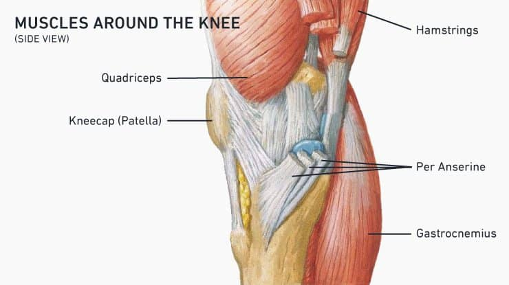 Muscles around the knee