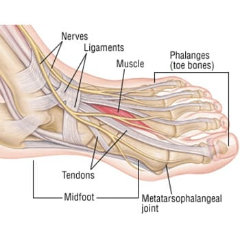 tendons, nerves, ligaments, and bones in the foot